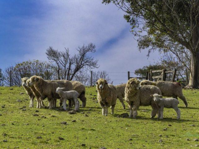 Expointer 2021: mercado aquecido faz ovinos superarem inscritos da edição 2019