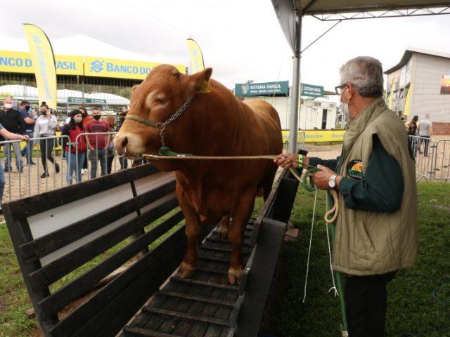 Touro mais pesado da 44ª Expointer tem 1.245 quilos